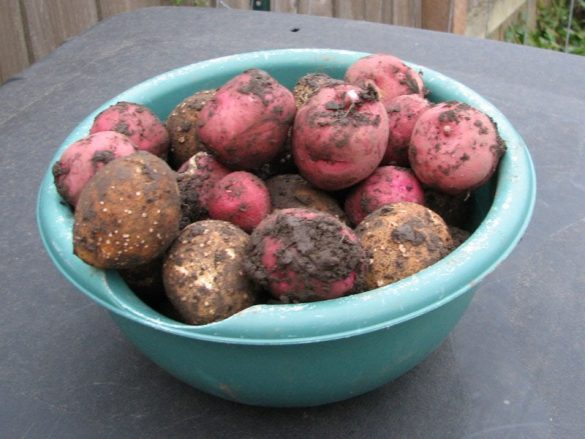 Owl Creek Farm Potato Harvest