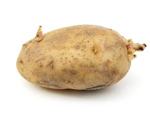 """If you have organic potatoes (those sprayed with chemicals often are sprayed to resist growth), cut the eyes out but leave a very large chunk of potato attached (1-2"""")- a medium size whole potato can yield 4-6 plants. Plants as you would any seed potato."""